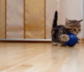 疲れて寝ちゃうまで、ボール遊びする子猫ちゃんに悶絶です