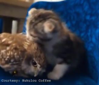 フクロウと子猫がイチャイチャ?これは新ジャンルの癒し動画( ´∀`)b