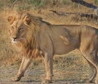 南アフリカ《ライオンが車内に飛び込み》米女性かみ殺す