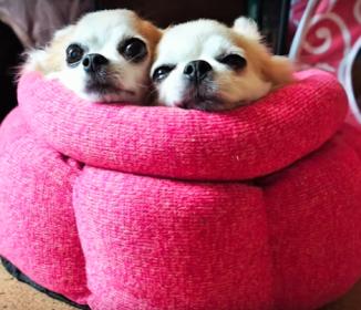 【チワワまんじゅう】ベッドで一緒に暖まる様子がカワイイ(*ノωノ)