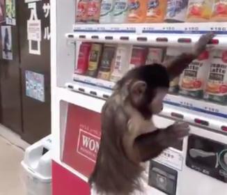 猿に自販機を使わせてみた…結果、荒ぶりすぎ(笑)