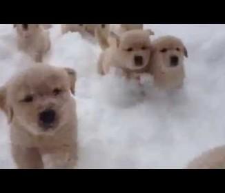 こんなの、見たことない?」雪をかき分けて走る、たくさんの子ゴールデン♪