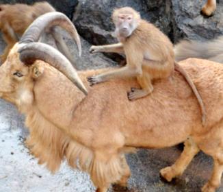 バーバリーシープとマントヒヒ 鹿児島の動物園