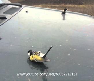 ギョッ!!車のボンネットの上で3羽の野鳥が謎のオブジェ化!