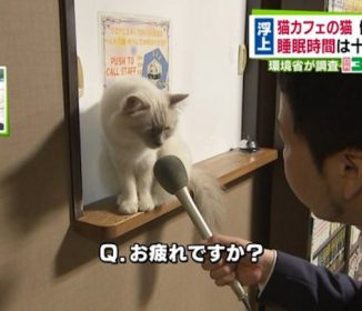 【悲報】猫カフェの猫の過労が問題に!!これは疲れきった顔をしてはるわ