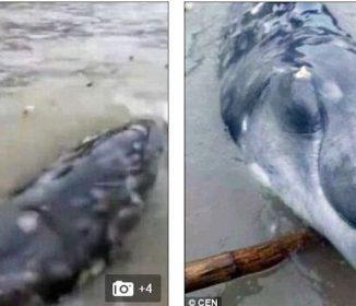 【前兆か?】中国でイルカ+ワニのような謎の生き物打ちあがる!