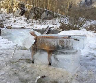 川に落ちて凍ったキツネ、氷の塊ごと切り出される