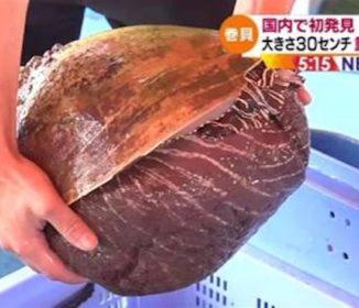 熊本沖で巨大貝発見、大きさ30センチ 重さ7.4キロ